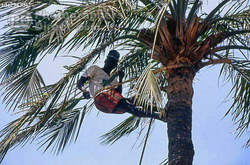 """Young man used """"ete"""" to climb to top of tall palm tree to harvest palm nuts and fronds"""