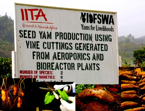 Aeroponics Yam Multiplication Has Made the Farming of This Popular Staple Food a Very Profitable Enterprise